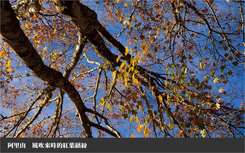 阿里山風吹來時的紅葉繽紛