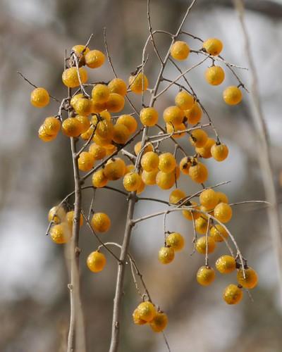 Soapberry Berries