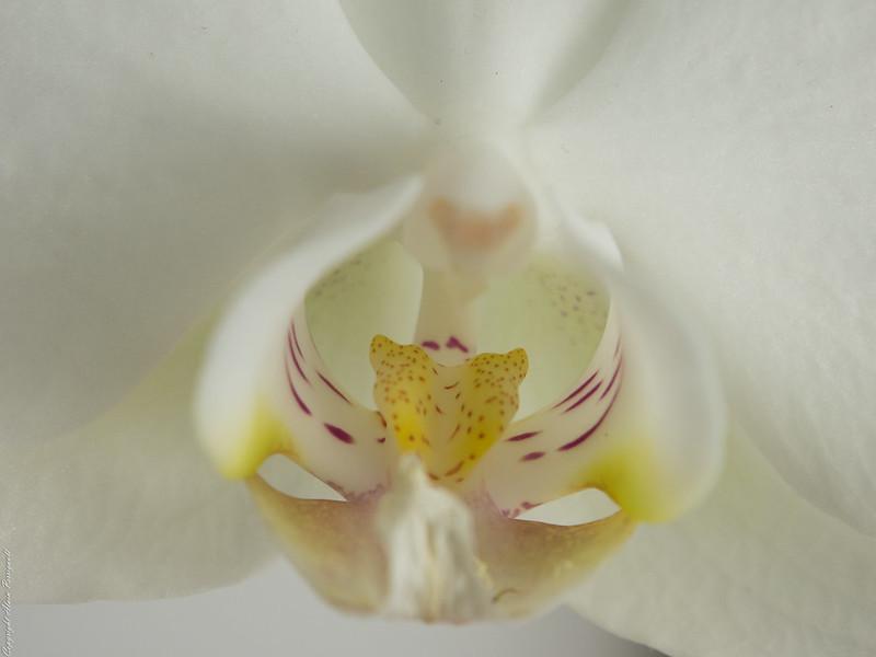 Orchidée 16416796739_2ca0241b41_c