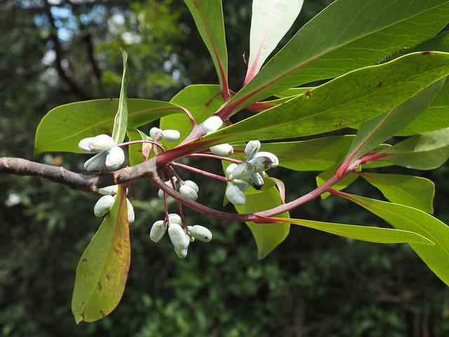 Tasmannia purpurascens
