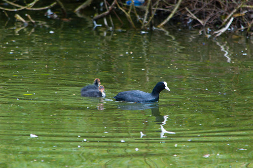 Coot and chicks afloat
