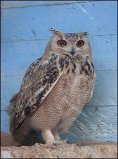 Unidentified Owl (Hai-Bar Yotvata)