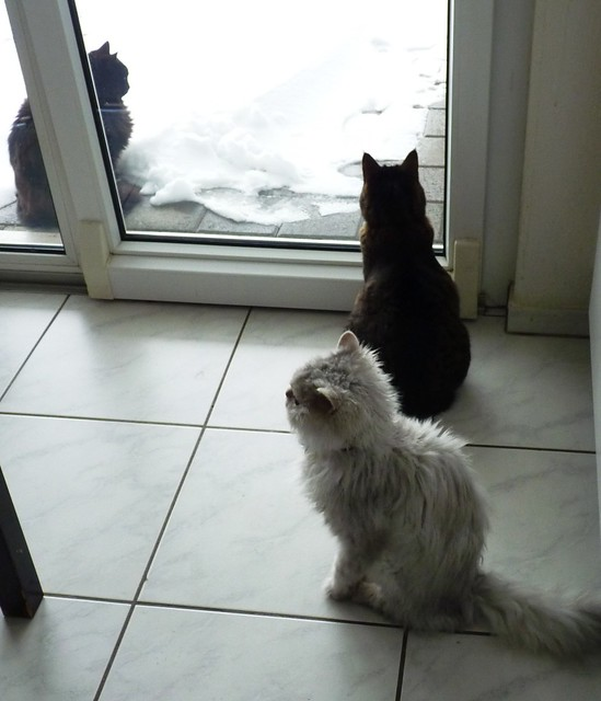 Nera, tabby and Fluffy snow watching