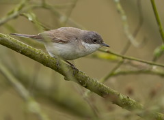 Holder_MG_0034 Lesser Whitethroat (Sylvia curruca), Brandon Marsh, Warwickshire 29 April 2013