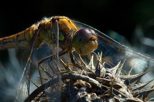 Female Common Darter dragonfly (Sympetrum striolatum) by Paul E. Dyer