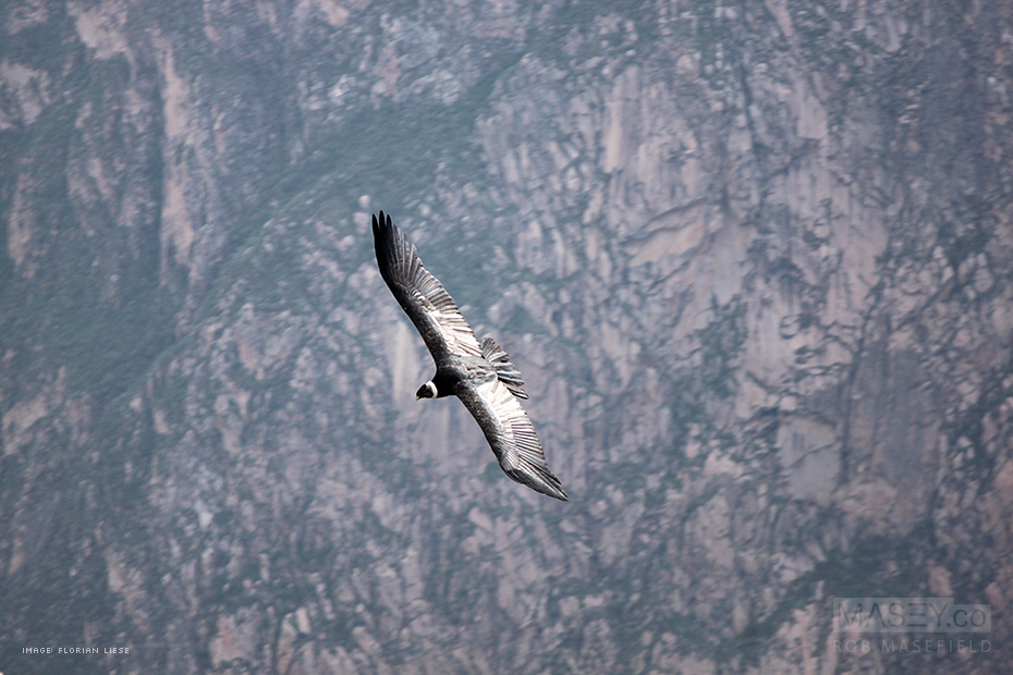 A giant condor glides silently past our vantage point.