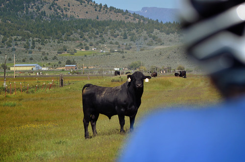 Lots of cattle encounters near Sprague River. Some not so friendly.