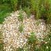 The Crumbles - Myrmarachne formicaria habitat.