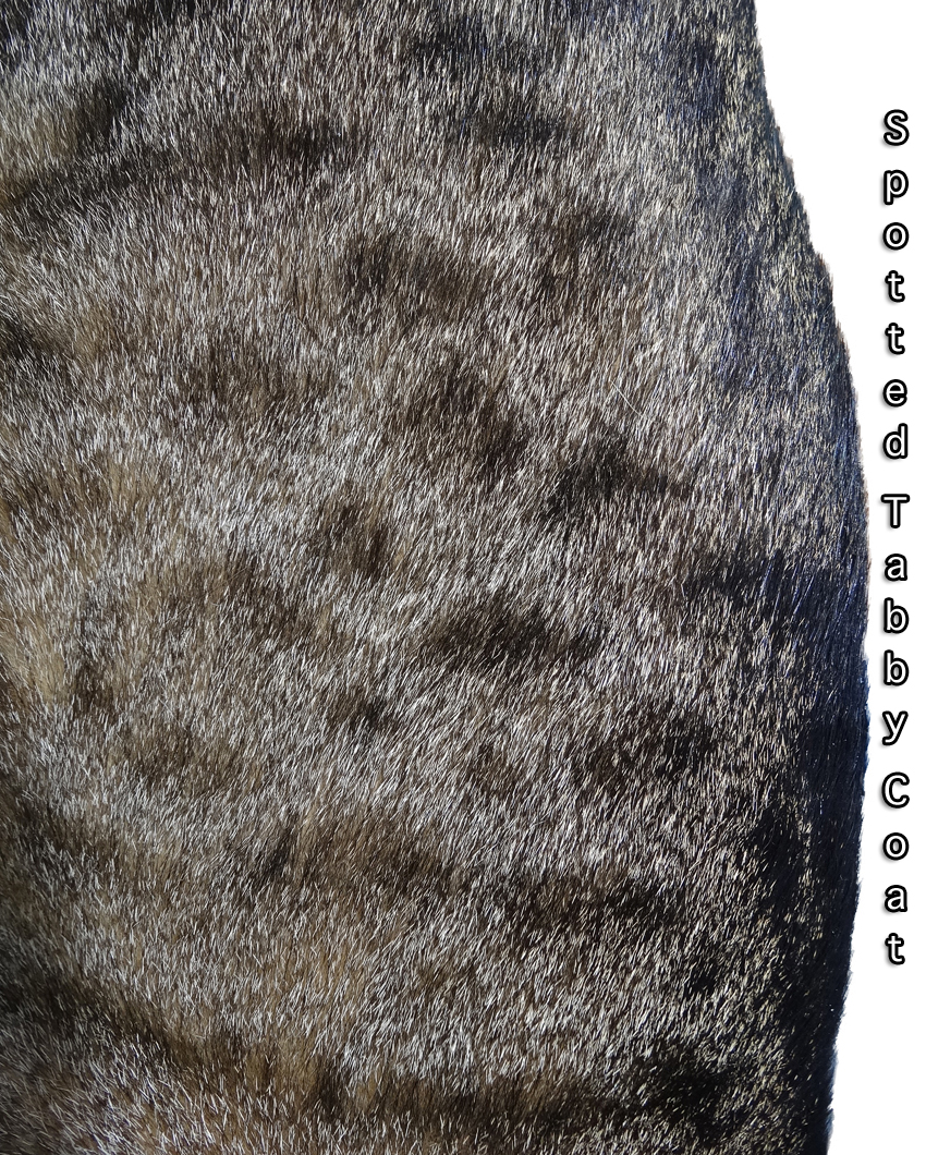 Spotted Tabby Coat