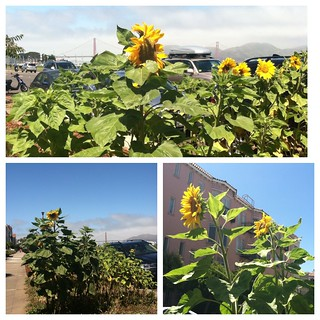 Sunflowers in San Francisco