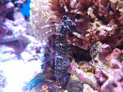 seahorse, animal, marine biology, fauna, underwater, reef,