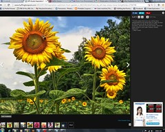 multimedia software(1.0), sunflower(1.0), flower(1.0), graphics software(1.0), plant(1.0), font(1.0), screenshot(1.0),