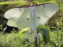 Luna moth pair mating 2
