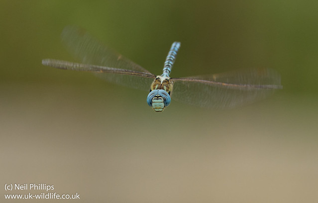 Southern migrant hawker Aeshna affinis-9