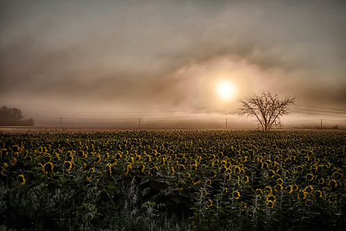 tree field fog manitoba sunflower prairies hydrolines