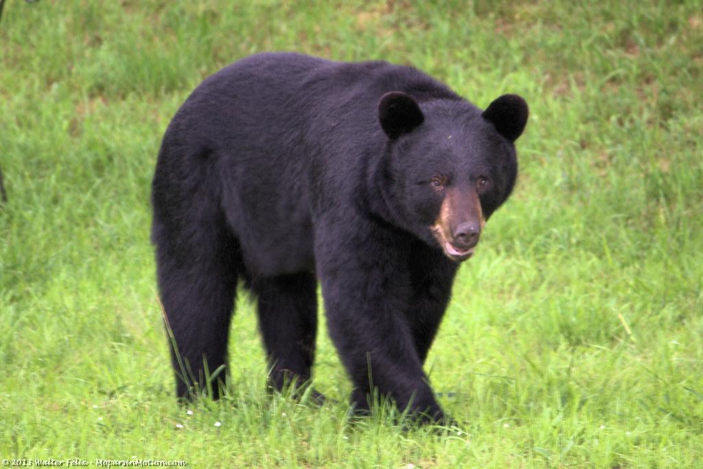 Black Bear in the Yard