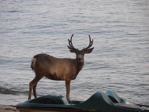 CC deer16