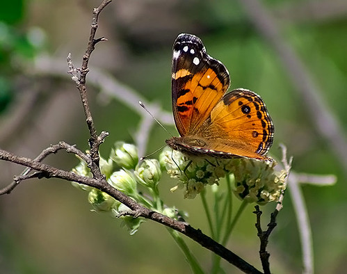 nature butterfly insect texas wildlife lepidoptera decatur lbjgrasslands americanlady