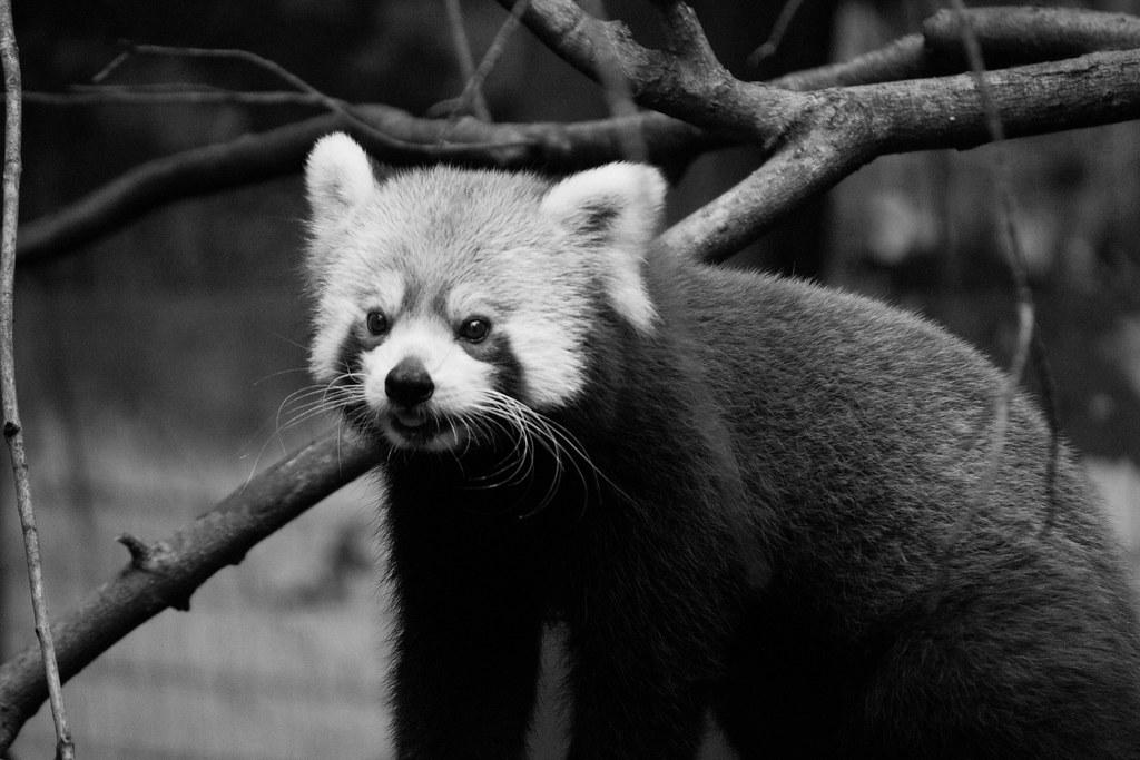 red panda4