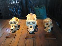 Animal Kingdom - Gorilla Skull Comparison