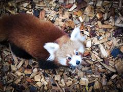 raccoon(0.0), animal(1.0), red panda(1.0), mammal(1.0), fauna(1.0), procyonidae(1.0), wildlife(1.0),
