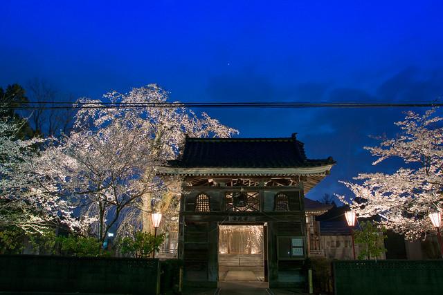 写真_桜time1