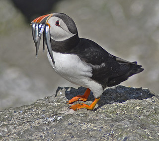 Puffin with his catch.