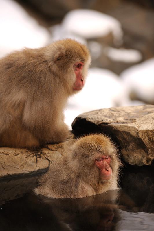 猿の温泉郷 ~地獄谷野猿公苑~