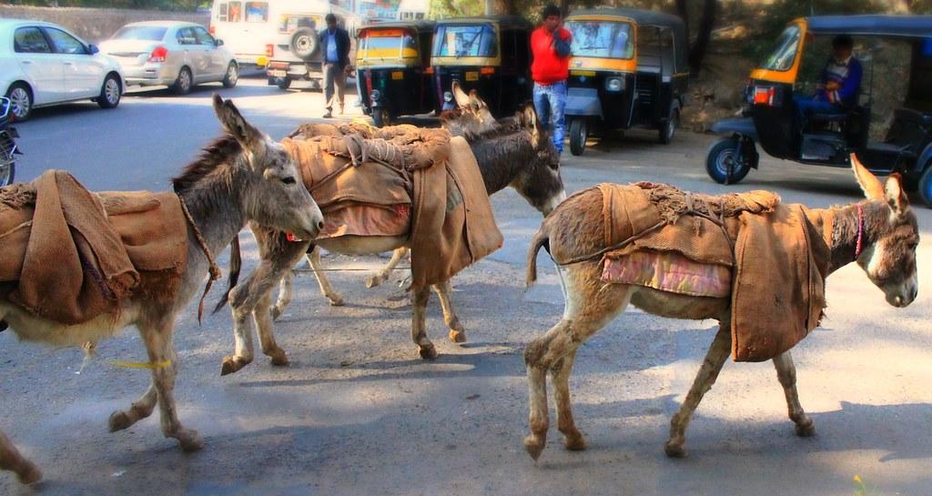 Donkeys hauling sand