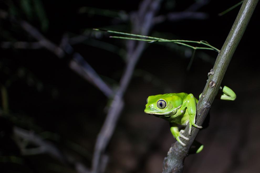 """Una rana """"monito"""" (Phyllomedusa sauvagii) fue descubierta posando en una rama durante una noche de """"reflectoreada"""". Estas y otras especies de anfíbios son los favoritos del naturalista británico y presentador de televisión Nick Baker. (Tetsu Espósito)"""