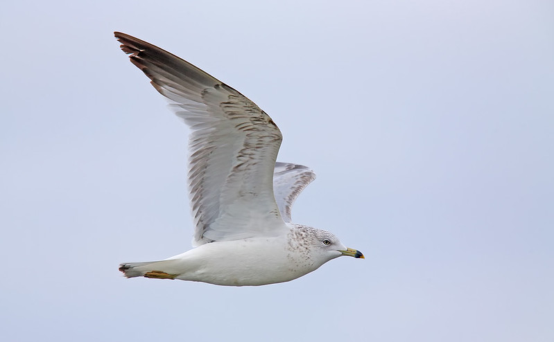 Ring-billed Gull [Larus delawarensis]