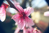 Subject: Peach Blossom by Ginevra Fracassi Ph.