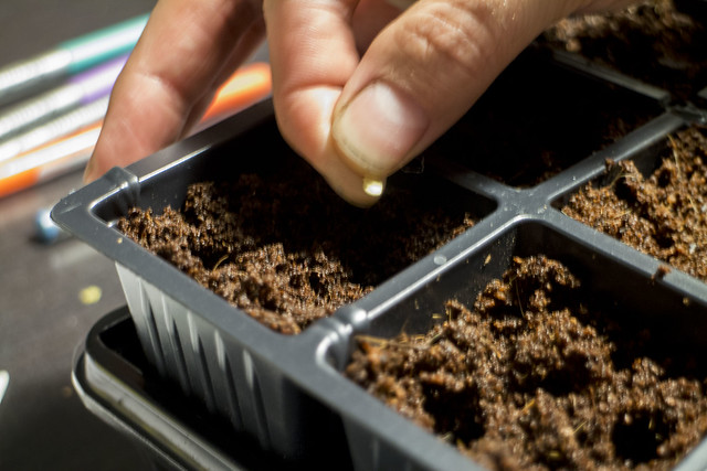 Planting Tomato Seeds 2014_4