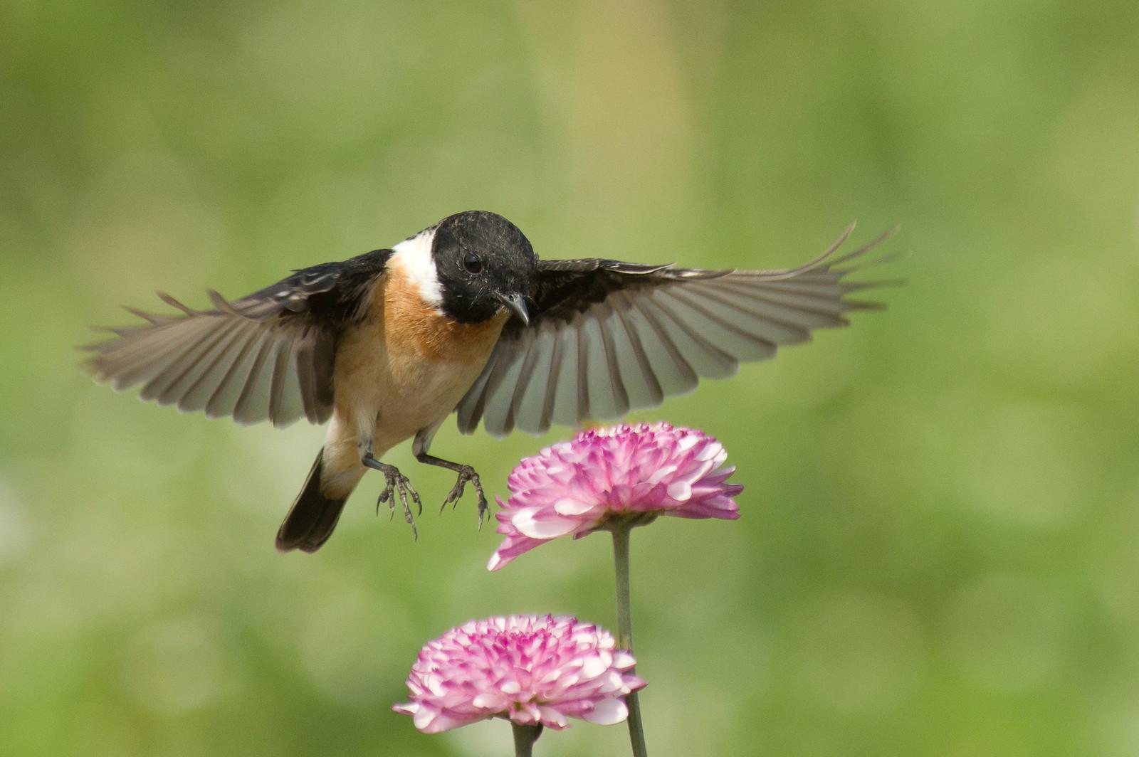 黑喉鴝與菊