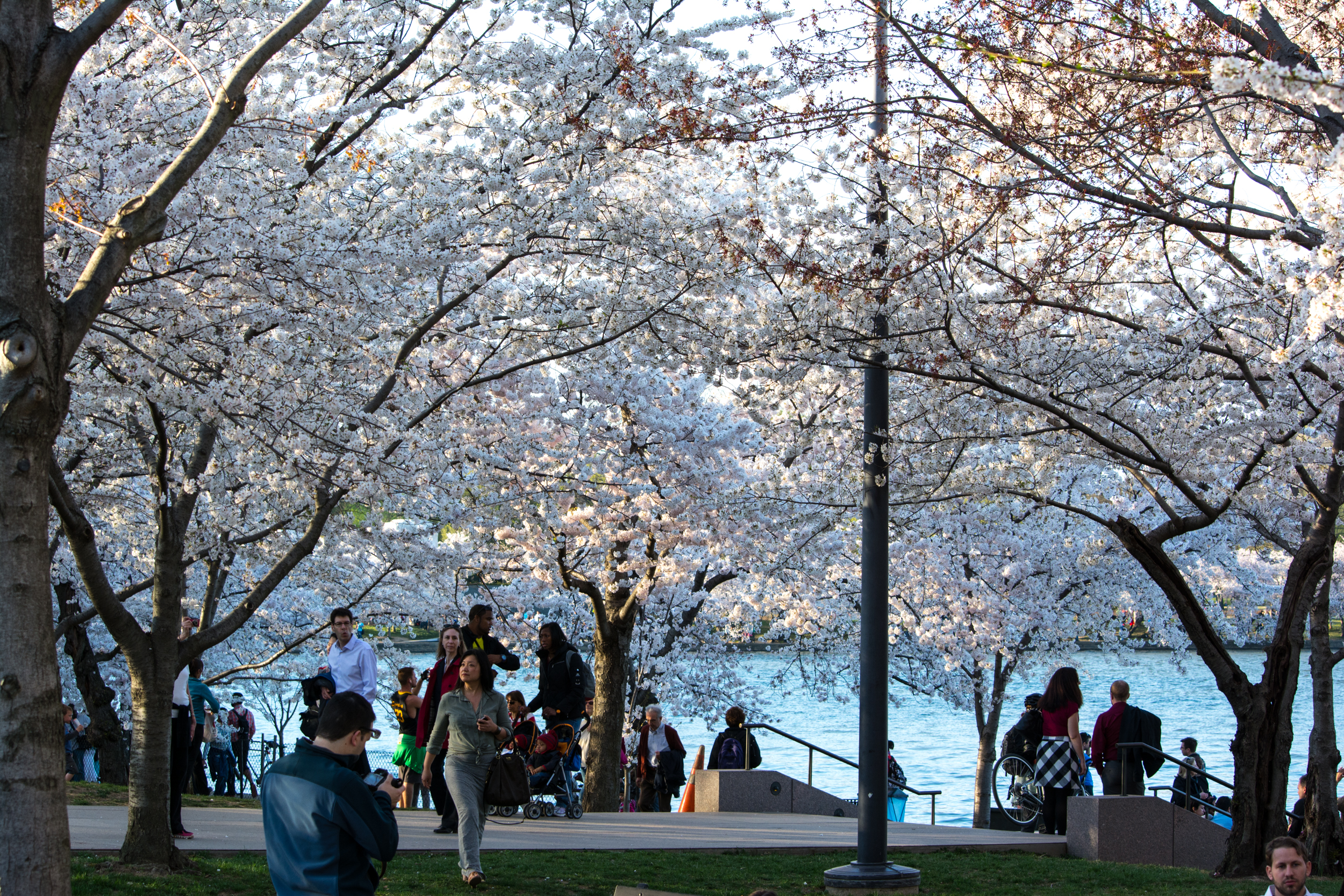 cherry blossoms 0011 - Washington DC - 2014-04-10