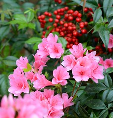 Azalea and Nandina...