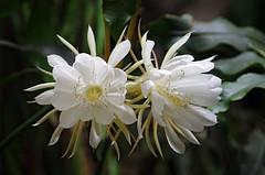 flower, macro photography, wildflower, flora, close-up, epiphyllum oxypetalum, petal,