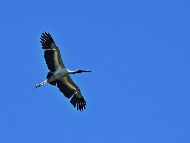 Wood Stork 20140421