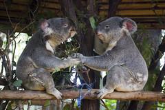 animal, zoo, mammal, koala, fauna,