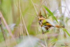 11黃羽鶯嘴