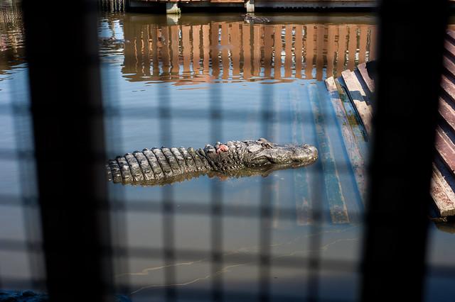 Gator5 (1 of 1)