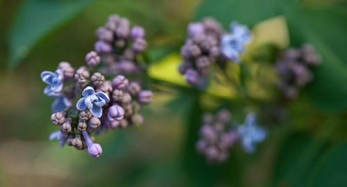DSC_8300 lilac