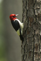 Red-headed Woodpecker - Texas_H8O6707