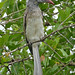Small photo of African Grey Hornbill (Tockus nasutus) female