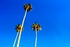 Tall Palms at Heisler Park