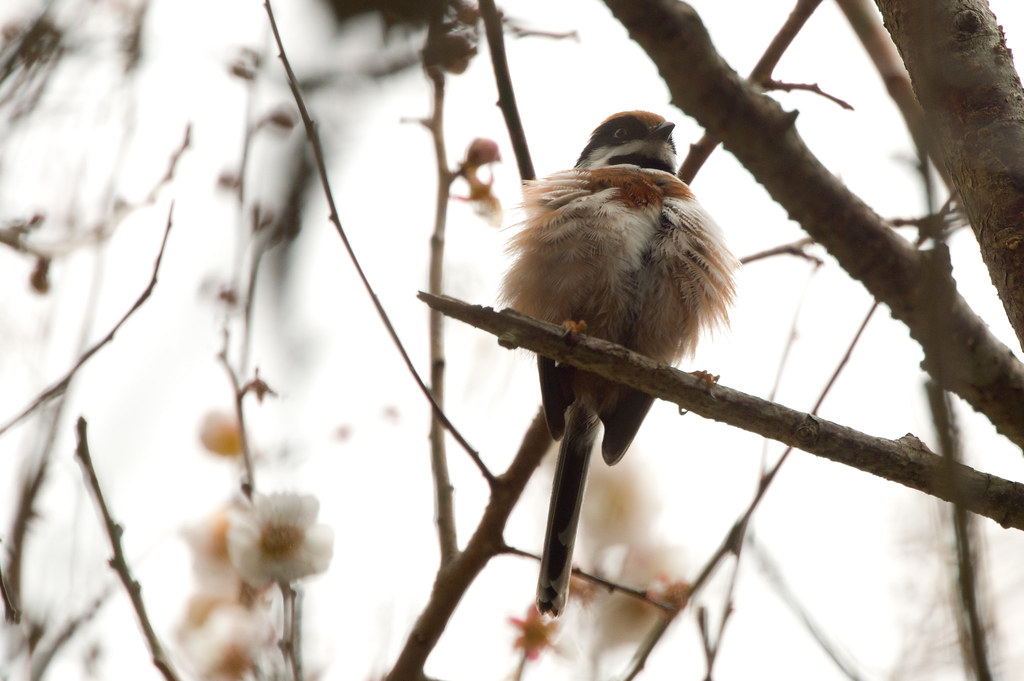 武陵紅頭山雀