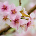 Cerisiers en fleurs by Joanne Levesque