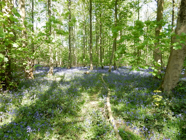 bluebells at Blickling 2016 (8)