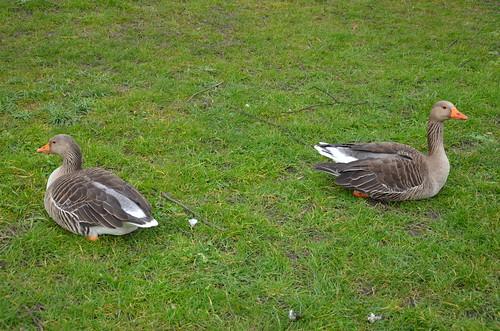 Geese in York Mar 16 (2)
