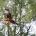 Red Kite by sdawesy1